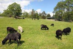 Troep van schapen die in een heuvel weiden Stock Afbeeldingen