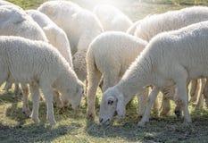 Troep van schapen die in een heuvel weiden Stock Foto