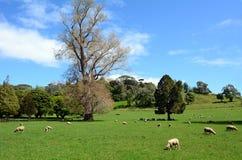Troep van schapen die in een paddock weiden royalty-vrije stock foto's
