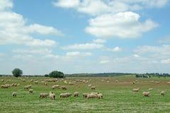 Troep van schapen die, landelijke scène weiden stock foto's
