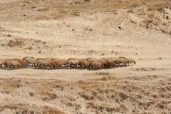 Troep van schapen die langs de weg onder droog gras komen stock foto
