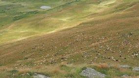 Troep van schapen die op bergweiland lopen De bergen van de Karpaten bij de zomer Zeer lang schot De schapen weiden  stock videobeelden