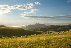 Troep van schapen die op gebloeid gebied weiden Stock Afbeeldingen
