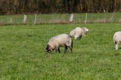 Troep van schapen die op groen weiland in de lente voeden royalty-vrije stock afbeelding