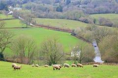 Troep van schapen die op landbouwgrond weiden stock foto's