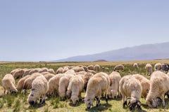 Troep van schapen die in weide met bergen weiden royalty-vrije stock afbeeldingen