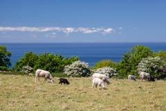 Troep van schapen door het overzees dichtbij op Bornholms Royalty-vrije Stock Afbeelding