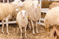 Troep van schapen en Lammeren Stock Foto's