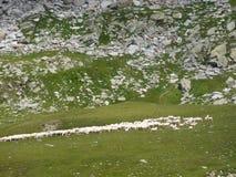 Troep van schapen in het Italiaans alpen Stock Foto's