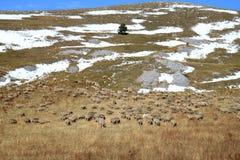 Troep van schapen, het Park van Gran Sasso, de Apennijnen, Italië royalty-vrije stock foto