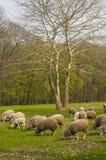 Troep van schapen het weiden Stock Foto's