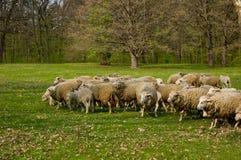 Troep van schapen het weiden Stock Afbeeldingen