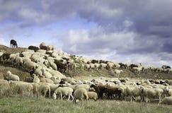 Troep van schapen het weiden Stock Afbeelding
