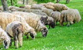 Troep van schapen het weiden stock foto