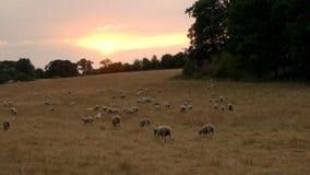 Troep van schapen of lammeren die op gras in Engels platteland bij zonsondergang of zonsopgang weiden stock footage