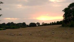 Troep van schapen of lammeren die op gras in Engels platteland bij zonsondergang of zonsopgang weiden stock videobeelden