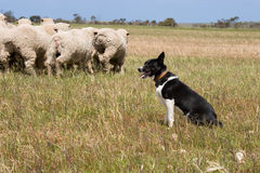 Troep van schapen met een schapenhond Het getijde was binnen op die dag Stock Foto's