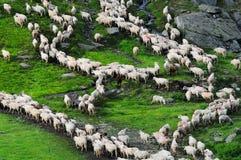 Troep van schapen op de bergen in Roemenië stock afbeeldingen