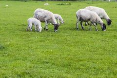 Troep van schapen op de weide Royalty-vrije Stock Fotografie