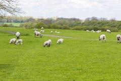 Troep van schapen op de weide Stock Fotografie