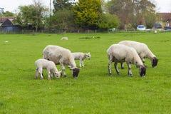 Troep van schapen op de weide Stock Foto's