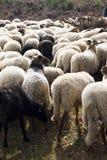 Troep van schapen op dopheide dichtbij Havelte, Holland royalty-vrije stock afbeelding