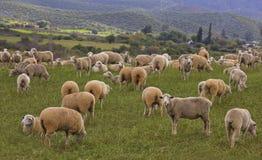 Troep van schapen op een gebied stock fotografie