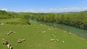 Troep van schapen op groen weiland in bergen, het veefokken, organische wol stock videobeelden