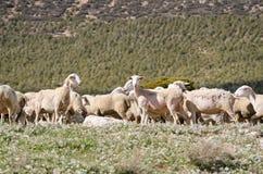 Troep van schapen op het gebied Royalty-vrije Stock Afbeeldingen