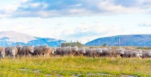 Troep van schapen in Patagonië, Chili Exemplaarruimte voor tekst royalty-vrije stock afbeeldingen