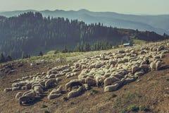 Troep van schapen in schapenpen Royalty-vrije Stock Foto