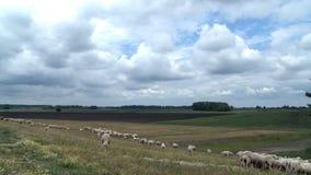 Troep van schapen - Voorraadvideo stock footage