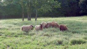 Troep van Schapen in Zonnige, Grasrijke Weide Stock Foto's