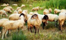 Troep van sheeps Royalty-vrije Stock Foto
