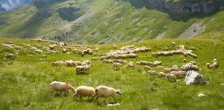Troep van sheeps Stock Foto