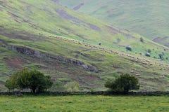 Troep van sheeps in helling royalty-vrije stock foto's