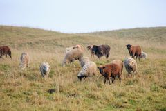 Troep van sheeps op de herfstweide Stock Foto