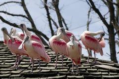 Troep van Spoonbill Vogels op Dak royalty-vrije stock afbeelding