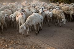 Troep van starende schapen stock foto