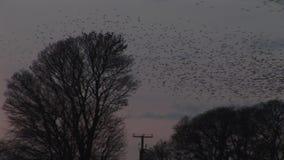 Troep van starlingsvlieg van boom in avondlicht stock video