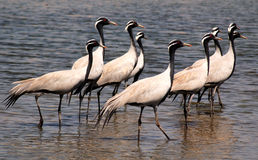 Troep van trekvogels. Stock Foto's