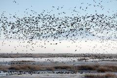 Troep van Trekvogels over een Moeras royalty-vrije stock afbeeldingen