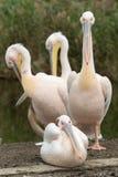Troep van vier witte pelikanen Stock Afbeelding