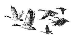 Troep van vliegende wilde ganzen De hand getrokken vector van de schetsstijl Stock Foto