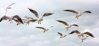 Troep van vliegende zeemeeuwen Royalty-vrije Stock Fotografie