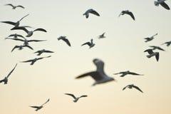 Troep van vliegende zeemeeuwen bij dageraad Stock Afbeelding