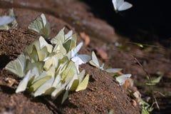 Troep van vlinders Stock Afbeelding