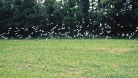 Troep van vogels stock video