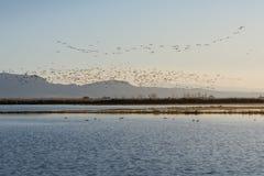 Troep van vogels bij zonsopgang in het natuurreservaat van Albufera, Valencia, Spanje stock afbeeldingen