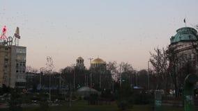 Troep van vogels die over de roze achtergrond van de zonsonderganghemel vliegen stock video